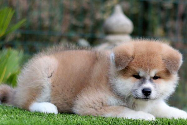 akita-cachorro-rojo-kensha-venta