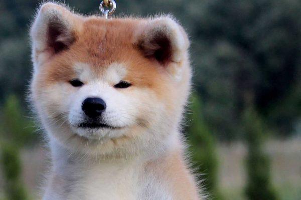 akita-puppie-face-3-kensha