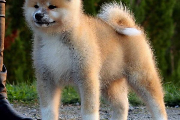 akita-puppy-red-2-nov-19
