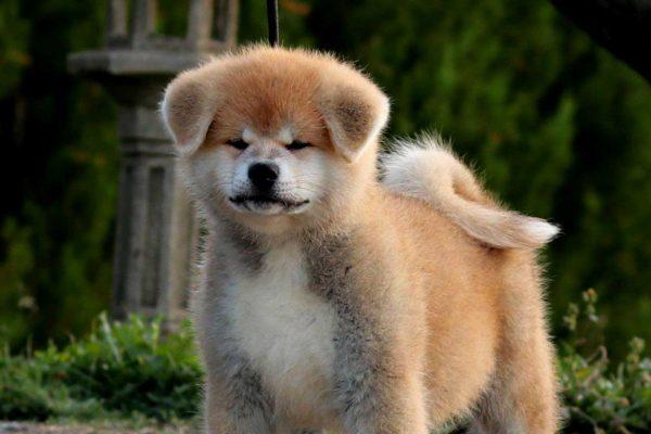 akita-puppy-red-nov-19-kensha