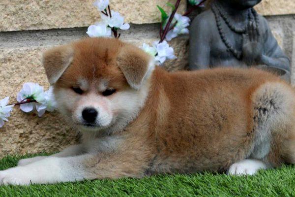 akita-red-puppy-nov-19-kensha