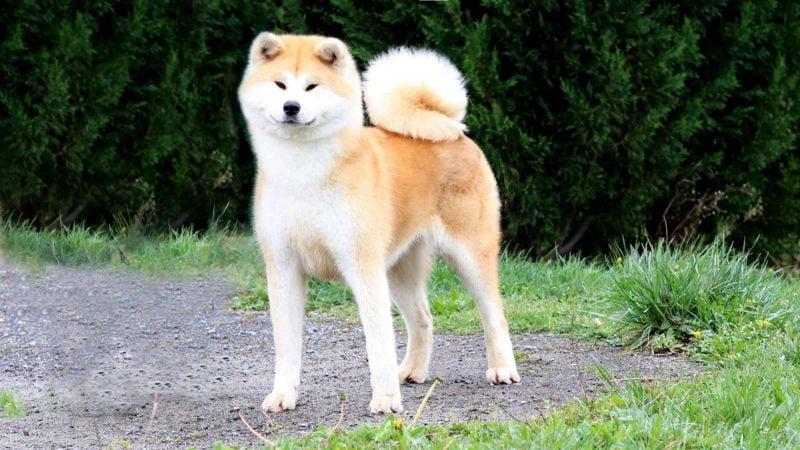 ayumi-kensha-akita-rojo-1