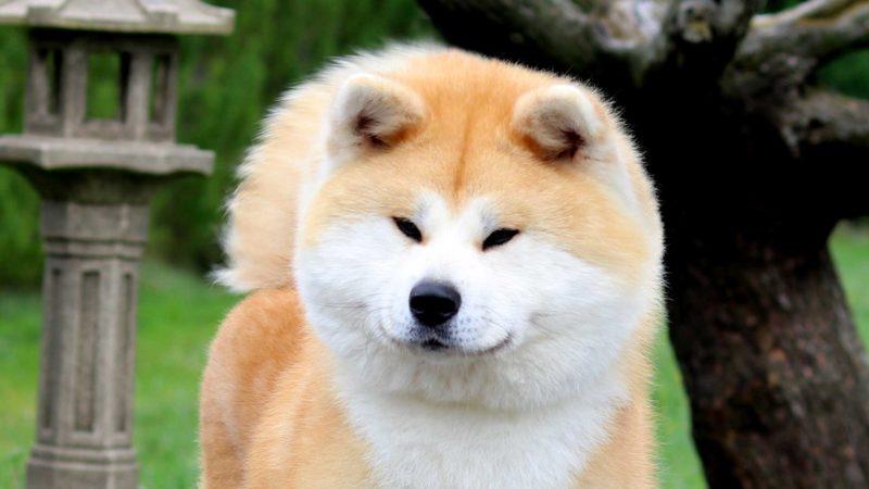 ayumi-kensha-akita-rojo-2