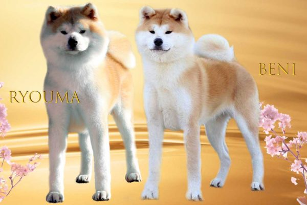 benia-ryouma-Kensha-akita-rojo-proxima-camada