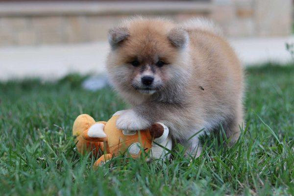 cachorro-akita-juego
