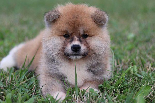 cachorro-akita-primer-plano