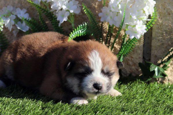 cachorro-hembra-akita-pelo-largo-1