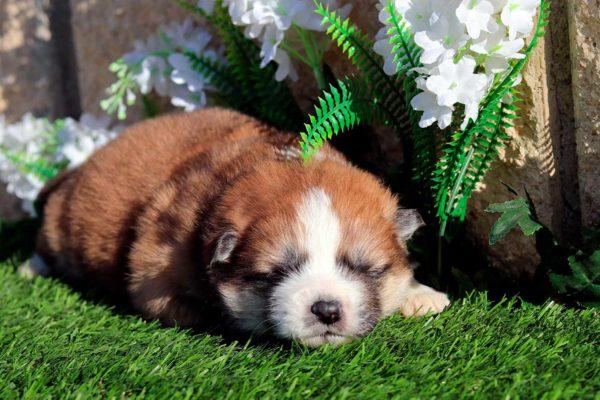 cachorro-hembra-akita-pelo-largo-2