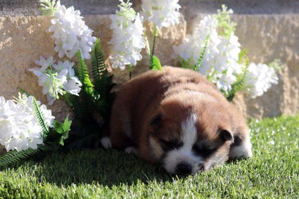 cachorro-hembra-akita-pelo-largo-3