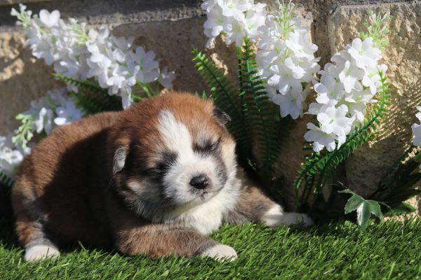 cachorro-hembra-akita-pelo-largo-4
