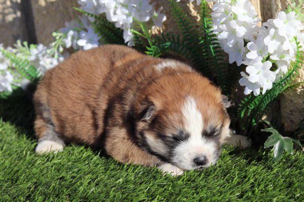 cachorro-hembra-akita-pelo-largo-5