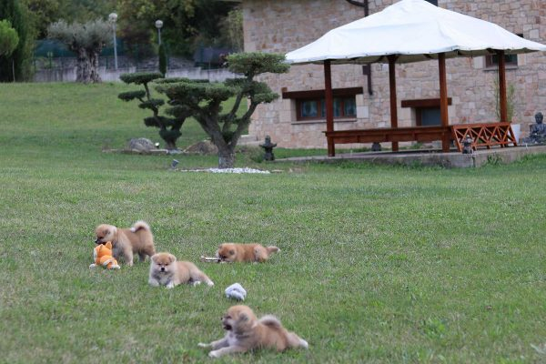 cachorros-akita-juegos