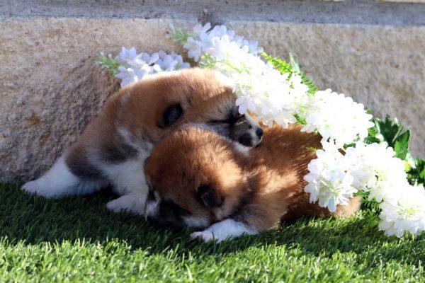 cachorros-akita-kensha-4