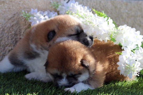 cachorros-akita-kensha-5