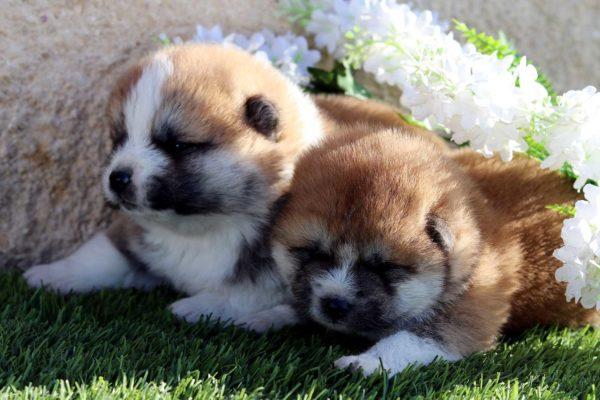 cachorros-akita-kensha-6