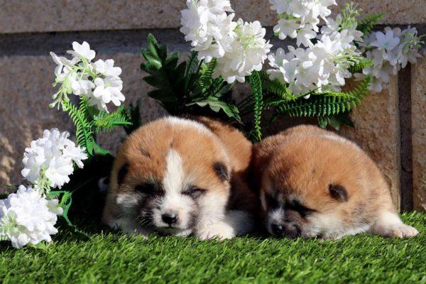 cachorros-akita-kensha-7