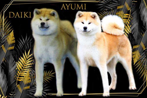 camada-cachorros-akita-kensha-daiki-x-ayumi