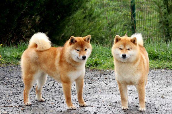 inishie-no-ren-go-bangaichisou-shiba-kensha-1