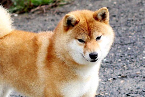 inishie-no-ren-go-bangaichisou-shiba-kensha-2