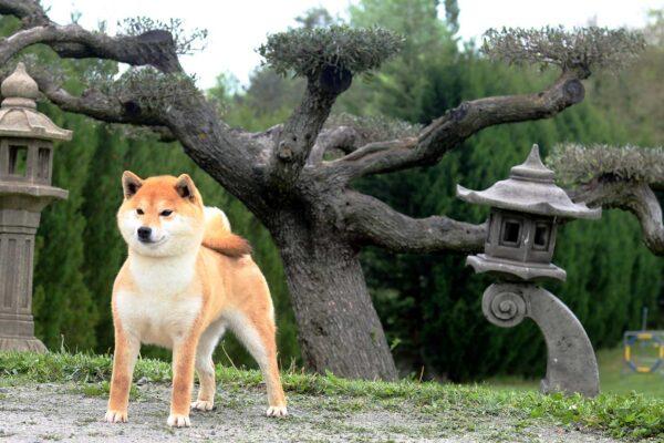 kikumi-go-shiba-rojo-hembra-shunyou-kensha