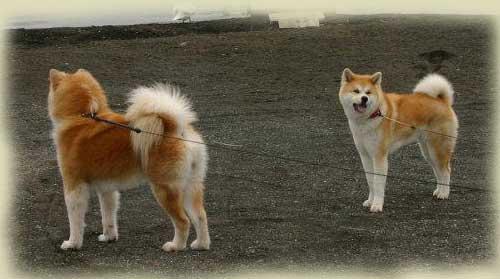 pelo-largo-diferencia-akita-kensha