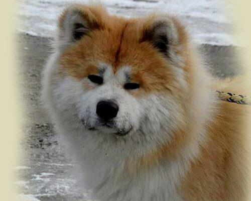 pelo-largo-rojo-2-akita-kensha