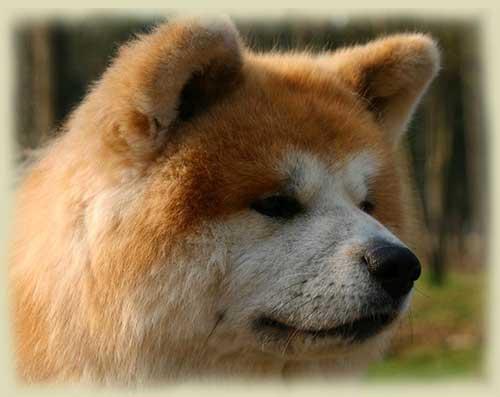 pelo-largo-rojo-4-akita-kensha