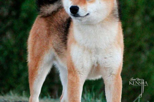 seiko-shiba-rojo-kensha