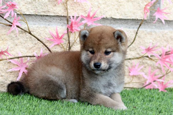 shiba-cachorra-hembra-roja-abril-2