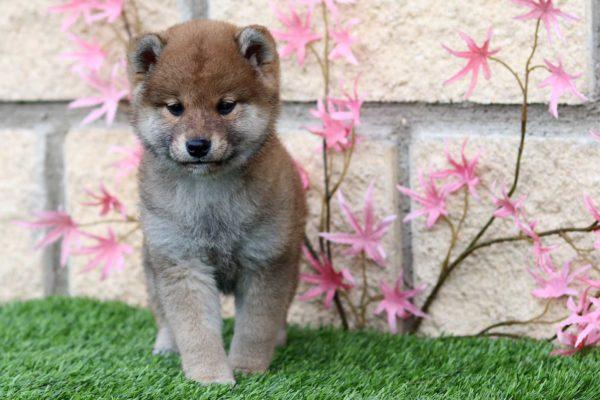 shiba-cachorra-hembra-roja-abril-3
