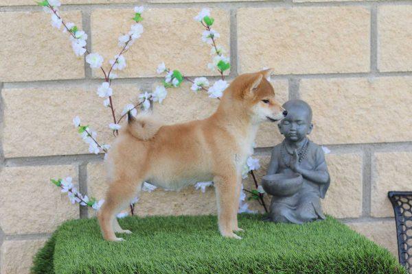 shiba-cachorro-kensha