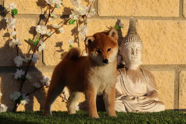 shiba-cachorro-rojo-kensha