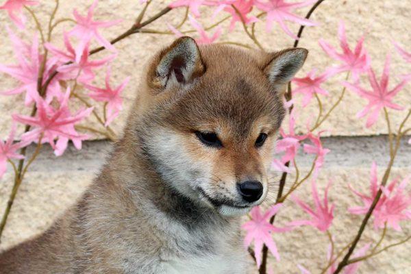 shiba-macho-cachorro-rojo-kensha-1