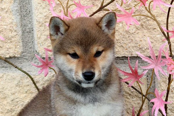 shiba-macho-cachorro-rojo-kensha-3