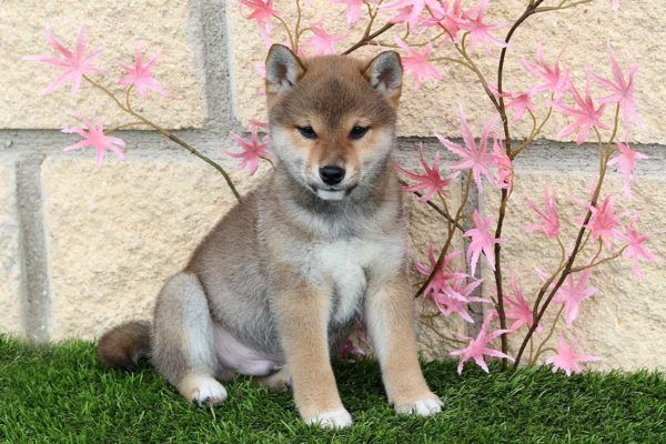 shiba-macho-cachorro-rojo-kensha-4
