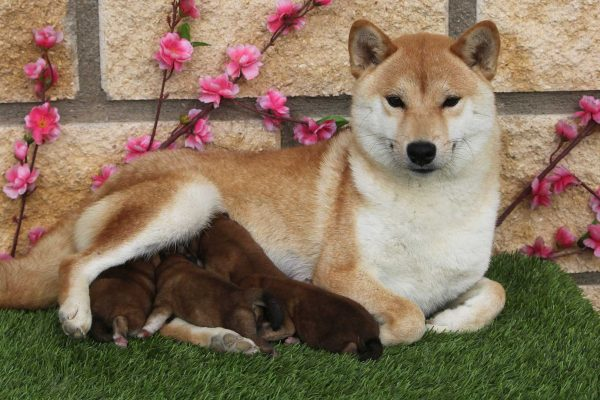 shiba-mon-puppies-kensha