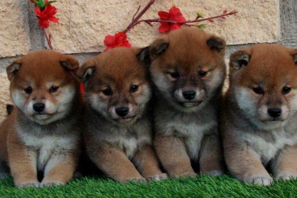 cría y venta de cachorros de akita o shiva