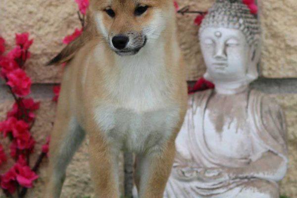 shiba-puppy-2-nov-19-kensha