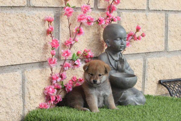 shiba-puppy-buda-kensha
