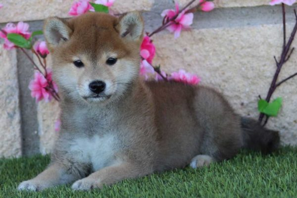shiba-puppy-nov-19-kensha