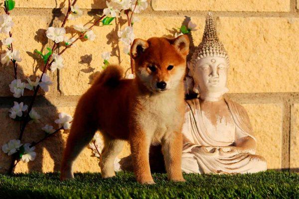 shiba-rojo-cachorro-kensha