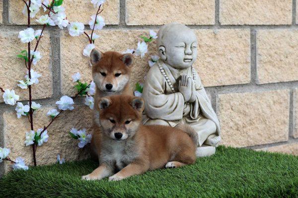 shibas-puppies-kensha