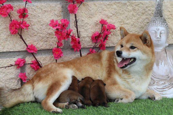 shibas-puppies-nov-19-kensha