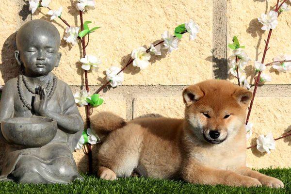 top-shiba-cachorra-hembra-roja-abril-kensha-2