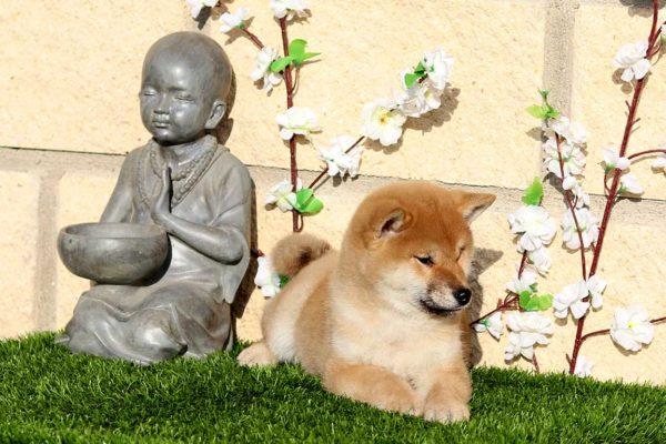 top-shiba-cachorra-hembra-roja-abril-kensha-3