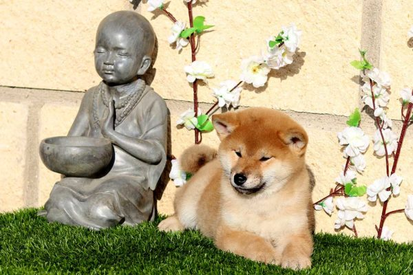 top-shiba-cachorra-hembra-roja-abril-kensha-4