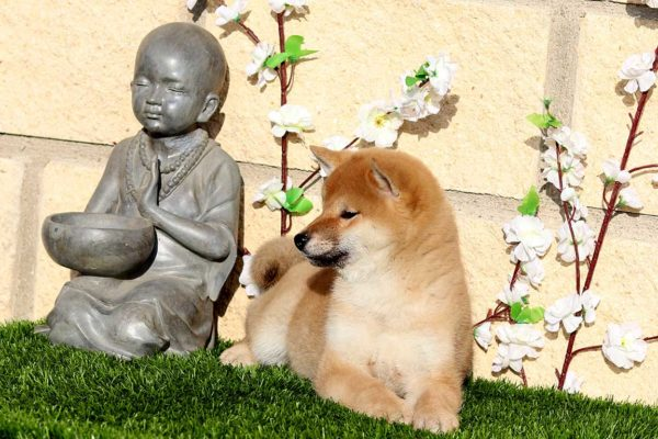 top-shiba-cachorra-hembra-roja-abril-kensha-5