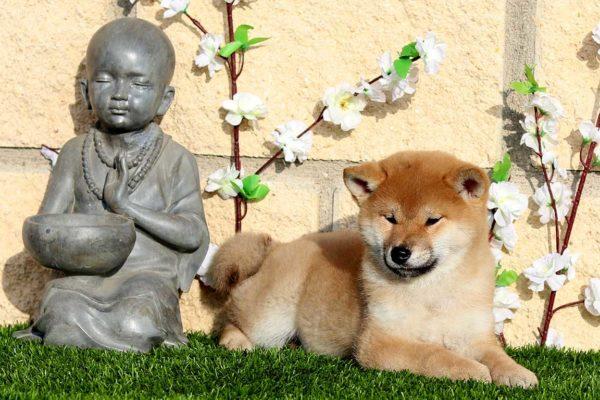 top-shiba-cachorra-hembra-roja-abril-kensha-6